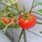 プチトマト栽培しました!プチトマトトマトソースでも作ろうか?